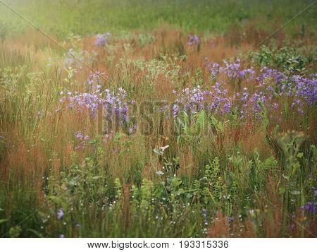 Herbs in the field. Flowers and herbs