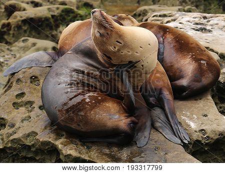 Lazy sea lion on the rocks with friends. La Jolla beach. California, USA.
