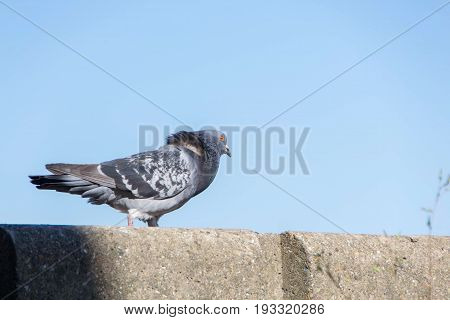 Feral pigeons also called city doves city pigeons or street pigeons are pigeons that are derived from the domestic pigeons that have returned to the wild