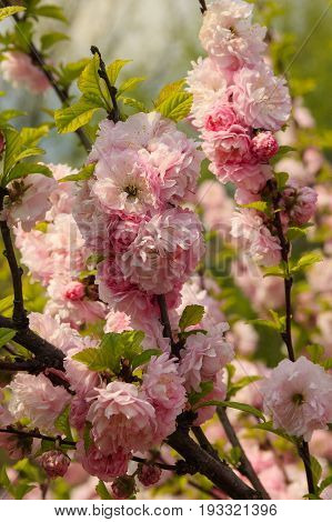 Flowers of Japanese cherry in the garden