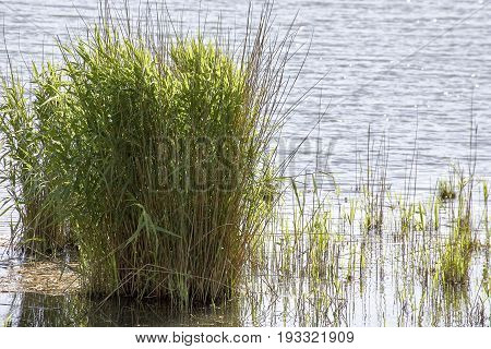 Detail Of Green Plant In A Lake