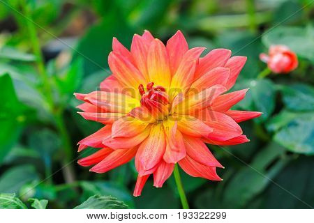 Closeup of dahlia in the garden - the flower is in full bloom with petals in color tones from pink and red to orange and yellow. It's surrounded by dahlias with closed buds