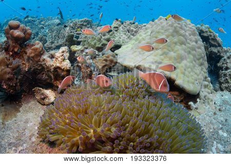 School of pink anemonefish (Amphiprion perideraion) in an anemone. at tropical reef background hard coral. andaman sea Thailand