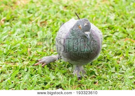 Pigeon Is Leg Broken On The Lawn. It Is Disabled Animals.