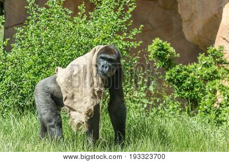 Great Gorilla Staring And Walking With A Jute Burlap Bag Covering Its Back Against A Bush Background