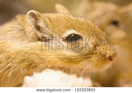 Gerbil Or Called Desert Rats