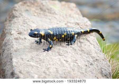 salamander of black with yellow pigments on rock