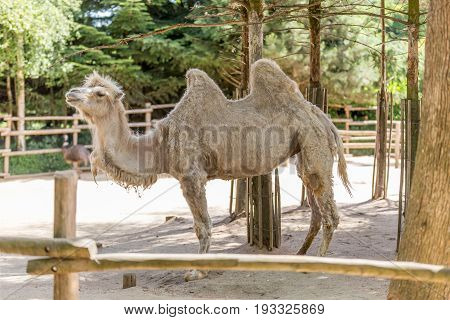 Two Humped Camel Inside Of A Fence With Trees