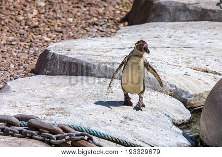 Galapagos Penguin Walking On Rustic Rocks With Open Wings - Chains And Ropes On The Foreground