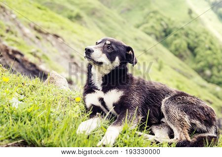 Dreaming Dog On The Alpine Meadow