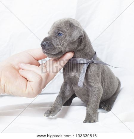 Grey Great Dane purebred puppy turning to its side
