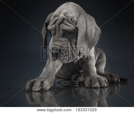 Purebred Gray Great Dane puppy with reflection on a dark background