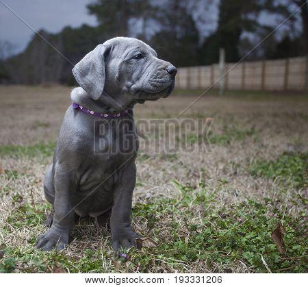 Great Dane puppy purebred on an autumn field