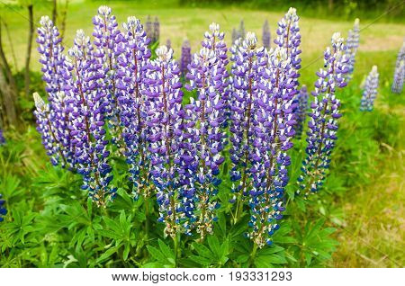 Fresh blossoming lupines in field. High lush purple lupine flowers, summer meadow.