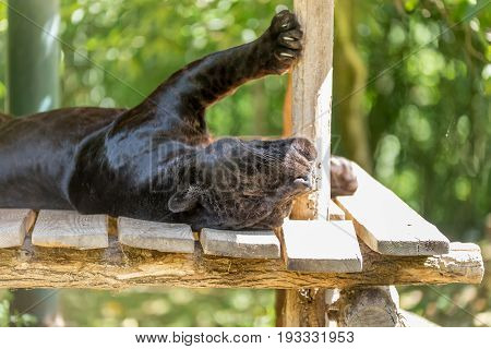Black Jaguar Sleeping With Its Back Up Side Down And Belly Up With Paws On The Deck Pole - Panthera