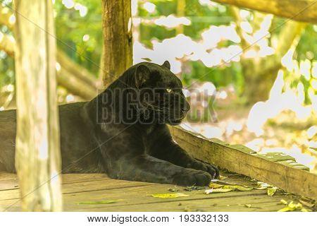 Black Jaguar Staring And Observing On A Wooden Deck - Panthera Onça