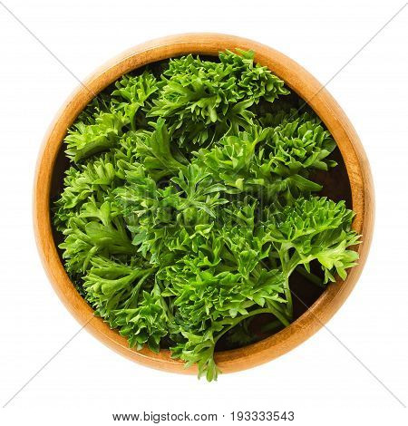 Fresh curly parsley leaves in wooden bowl. Green leaves of Petroselinum crispum, used as herb, spice and vegetable. Isolated macro food photo close up from above on white background.