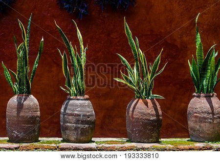 Country house wall with snake plant in pots abstract background