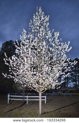 Pear tree in full bloom in the spring just before nightfall