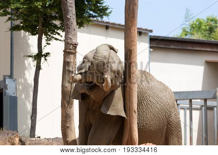 Elephant Male Scratching Its Head And Ears On Large Wood Trunks With Open Mouth And Visible Tusks