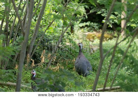 Two Helmeted Guinea Fowl In The Woods On Alert