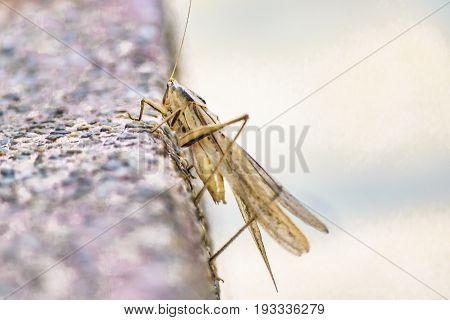Locust Insect At Floor, Guayaquil, Ecuador