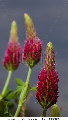 Three blooms shooting from a red clover plant