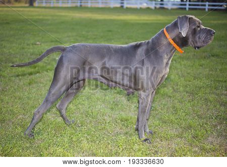 Purebred Great Dane on the grass that seems to be pointing at something