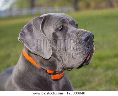 Portrait of a purebred Great Dane taken on a grassy field