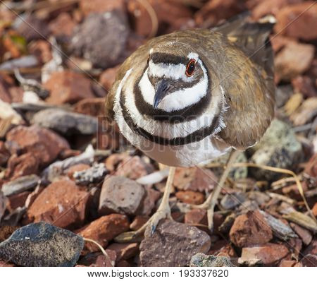 Killdeer on the rocks with eggs and nest behind