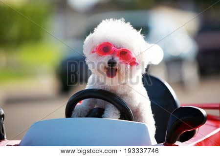 Happy Dog in car. Bichon Frise Dog wears Hot Pink Goggles and enjoys a ride in a pedal car. Fifi the Bichon Frise, takes her Red Hot Rod Pedal Car out for a ride. Dogs love car rides.