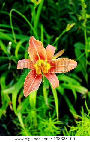 Asiatic lily or Tiger lily in the garden