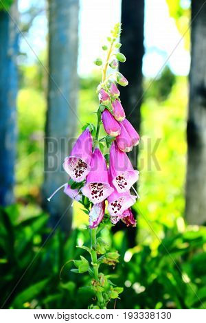 Pink Foxglove flower growing in the garden