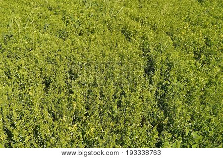 Green lentils field pictures, green lentils in the field while waiting to mature, flowers lentil plants,