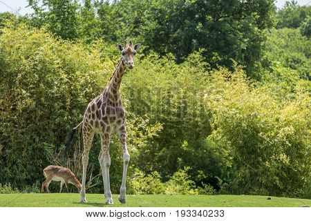 Female Giraffe Full Body Walking With A Gazelle And Trees On The Background