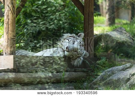 White Tiger Or Bleached Bengal Tiger Laid On A Deck Staring Deeply