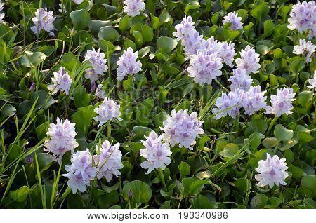 Gentle violet color Lotus flowers in full blossom on River Rapti, Chitwan National Park, Nepal