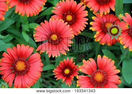 Bright and colorful flower background, with several open to the warmth of Summertime sun.