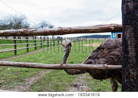 The Adult ostrich enclosure. Curious African ostrich.