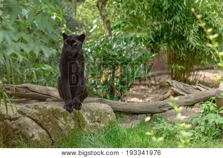 Amazing Green Eyes Black Leopard Staring The Prey Sat On A Rock With A Trunk And Green Plants Vegeta