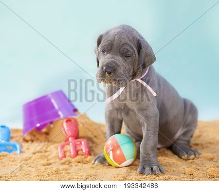 Purebred Great Dane puppy that is four weeks old on a beach scene