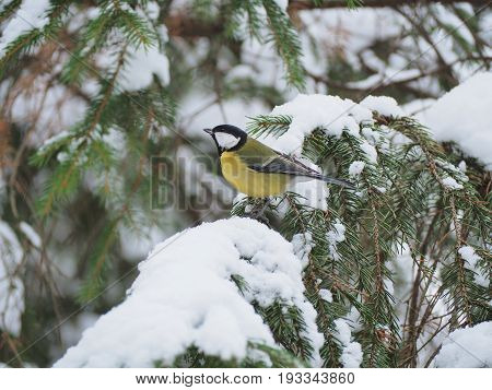A beautiful bird sitting on the branch of evergreen tree in the midle of winter forest