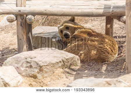 Male Brown Grizzly Bear Laid Down Under A Wooden Shade Taking A Nap Among Stones