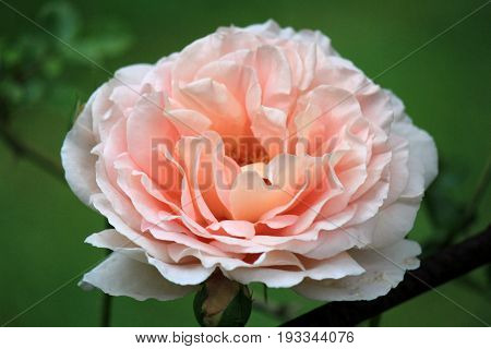 Beautiful image of single peach colored rose in Summer garden