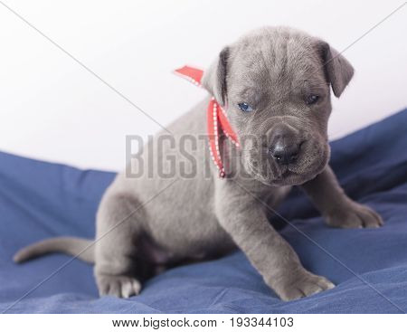 Gray Great Dane purebred puppy on a blanket that looks tired