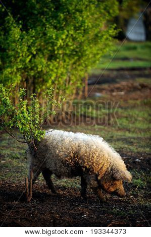 A huge boar of the breed Hungarian mangalitsa cuts off young leaves from the bush in early spring