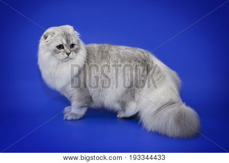 White fluffy chinchilla cat on a blue background. Cat with a fluffy tail.