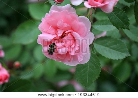 Single pink rose in backyard garden, with bumble bee in center