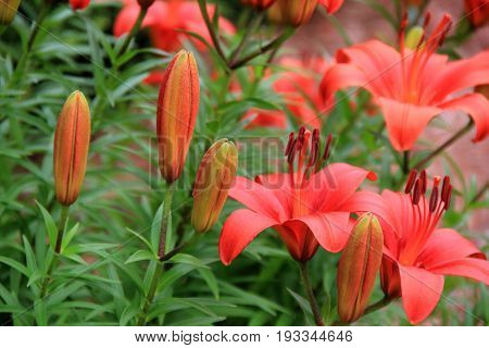 Horizontal image of bright and colorful day lilies, some open fully the warmth of Summertime, while others are still budding in healthy green foliage.