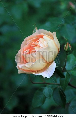 Vertical image of single peach-colored rose in pretty landscaped  garden.